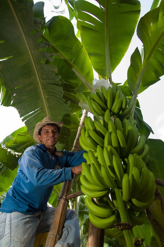 BIO @ Bio-News-Net | Foto: Die Sorte Cavendish dominiert den weltweiten Bananen-Handel.