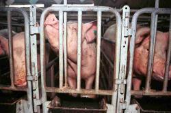 Landwirtschaft News & Agrarwirtschaft News @ Agrar-Center.de | Foto: Schweinemast www.tierschutzbilder.de: