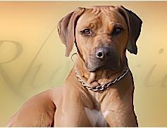 Hunde Infos & Hunde News @ Hunde-Info-Portal.de | Foto: Rhodesian-Ridgeback-Zwinger Rotterdell - attraktive TYPO3-Webseiten mit kleinem Budget.