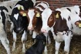 Landwirtschaft News & Agrarwirtschaft News @ Agrar-Center.de | Foto: Unterversorgte Kälber haben später als Kühe schlechtere Milchleistungen zur Folge.