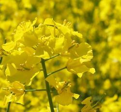 Landwirtschaft News & Agrarwirtschaft News @ Agrar-Center.de | Foto: Rapsblüten - Foto: Proplanta.