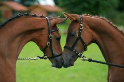 Landwirtschaft News & Agrarwirtschaft News @ Agrar-Center.de | Foto: Wie gewohnt werden die zugelassenen Pferde in Qualität und Optik höchsten Ansprüchen genügen.