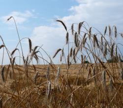 Landwirtschaft News & Agrarwirtschaft News @ Agrar-Center.de | Foto: Getreide, Getreideanbau, Landwirtschaft, Pflanzenbau, Getreideernte, Getreideflächen.