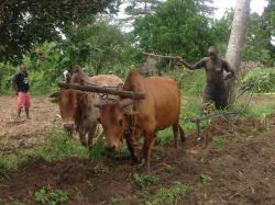 Afrika News & Afrika Infos & Afrika Tipps @ Afrika-123.de | Foto: Ein Farmer verwendet beim Pflügen die neuartigen Halsbänder mit dem Abwehrstoff des Wasserbocks. Die Ausbrüche der Schlafkrankheit beim Vieh konnten damit um mehr als 80 Prozent reduziert werden. (© Foto: Dr. R. K. Saini/icipe)