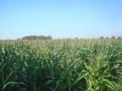 Landwirtschaft News & Agrarwirtschaft News @ Agrar-Center.de | Foto: Werden die Erreger über Grundfutter (hier Mais) in Milchviehherden eingetragen?