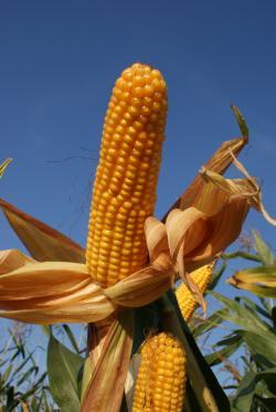 Landwirtschaft News & Agrarwirtschaft News @ Agrar-Center.de | Foto: REBECCA, eine der neuen agaSAAT Sorten.