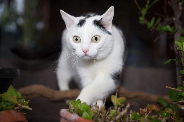 Tier Infos & Tier News @ Tier-News-247.de | Foto: Katzen, die an einer Schilddrüsenüberfunktion leiden, sind in der Anfangsphase häufig überaktiv, entwickeln einen wahren Heißhunger und nehmen dabei aber gleichzeitig ab!
