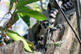 Foto: Lemur in Madagaskar. PRIORI Reisen.
