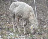 Landwirtschaft News & Agrarwirtschaft News @ Agrar-Center.de | Foto: Hochgradig abgemagertes Schaf nach sehr langer Hungerperiode.