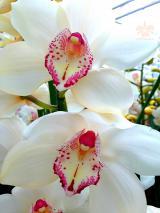Foto: Cymbidium aus dem Orchideengarten