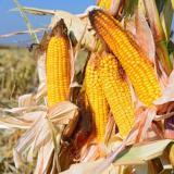 Landwirtschaft News & Agrarwirtschaft News @ Agrar-Center.de | Foto: FEUERSTEIN ist die optimale Maissorte für Betriebe mit Milchviehwirtschaft & Biogasproduktion