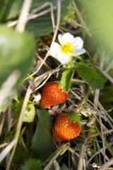 Landwirtschaft News & Agrarwirtschaft News @ Agrar-Center.de | Foto: Die ersten roten Erdbeeren können bei Karls geerntet werden.