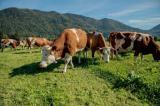Internet Portal Center | Foto: UNSER LAND BIO Kühe im bayerischen Voralpenland! Foto: Marianne Wagner