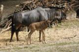 Zoo-News-247.de - Zoo Infos & Zoo Tipps | Foto: Streifengnu-Bulle mit Mutter auf Entdeckungstour am Sambesi.