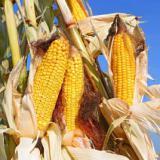 Landwirtschaft News & Agrarwirtschaft News @ Agrar-Center.de   Foto: Mit agaSAAT Maissorten aus dem Vollen schöpfen.