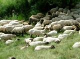 Landwirtschaft News & Agrarwirtschaft News @ Agrar-Center.de | Foto: Schafe suchen schon bei wesentlich niedrigeren Temperaturen als jetzt Schattenplätze auf.