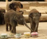 Zoo-News-247.de - Zoo Infos & Zoo Tipps | Foto: Felix und Dinkar teilen sich eine Eistorte.