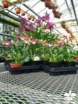 Orchideen-Seite.de - rund um die Orchidee ! | Foto: Orchideen auf dem Grenzzaun im Orchideengarte Karge in Dahlenburg
