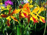 Orchideen-Seite.de - rund um die Orchidee ! | Foto: Orchideen aus dem Orchideengarten Karge