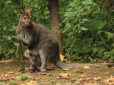 Zoo-News-247.de - Zoo Infos & Zoo Tipps | Foto: Das kleine Bennett-Känguru guckt aus dem mütterlichen Beutel.