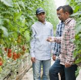 Ost Nachrichten & Osten News | Foto: Tunesische Anbauer bei der SanLucar Tomatenernte.