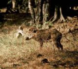 Afrika News & Afrika Infos & Afrika Tipps @ Afrika-123.de | Foto: Sus scrofa noch am Leben - Das Wildschwein.