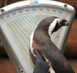 Zoo-News-247.de - Zoo Infos & Zoo Tipps | Foto: Pinguin Sigrid auf der Waage.