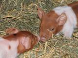 Tier Infos & Tier News @ Tier-News-247.de | Foto: Husumer Ferkel auf Schnupperkurs.