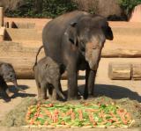 Zoo-News-247.de - Zoo Infos & Zoo Tipps | Foto: Mutter Farina und Elefantenbaby Amithi vor dem Taufgeschenk. Foto: Zoo Hannover.