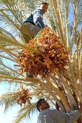 Afrika News & Afrika Infos & Afrika Tipps @ Afrika-123.de | Foto: Dattelernte in Tunesien.