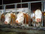 Tier Infos & Tier News @ Tier-News-247.de | In einer Petition fordern Tierschützer tiergerechte Standards für Milchkühe (Foto: © WTG)