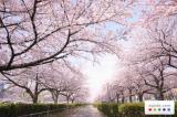 Ost Nachrichten & Osten News   Foto: Kirschblütenfest in Japan