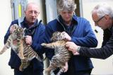 Tier Infos & Tier News @ Tier-News-247.de | Foto: Die Tiger-Zwillinge