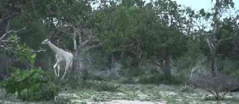 Sensation: Zwei sehr seltene weiße Giraffen sind in Kenia entdeckt worden - Ursache der weißen Farbe ist sogenannter Leuzismus!