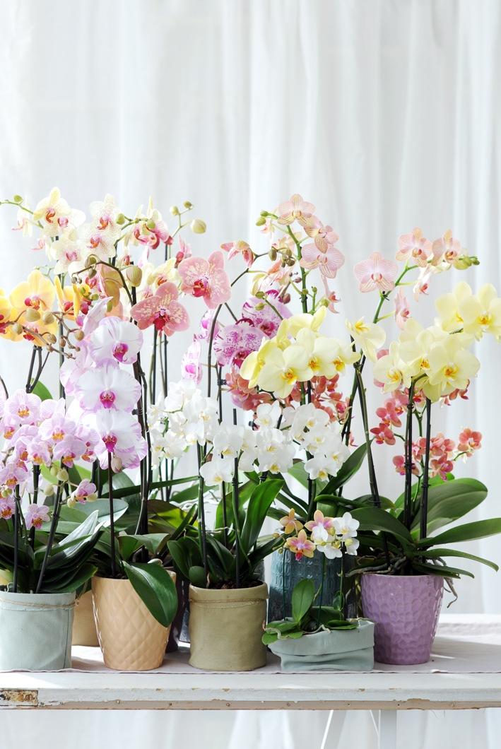 Orchideen-Seite.de - rund um die Orchidee ! | Foto: Zarter Jahresabschluss mit der Phalaenopsis in Pastell / Sommerlicher Lichtpunkt im Winter!